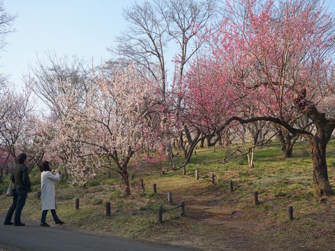 ▲見頃を迎えた埼玉県の森林公園の梅林